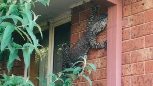 giant-lizard-visits-australian-home
